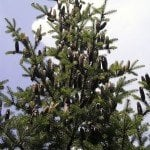 Fir Needle Essential Oil Canada