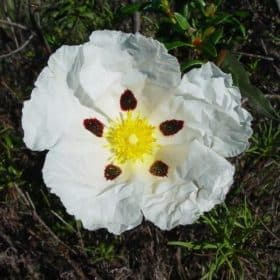 Cistus Absolute | Cistus Essential Oil