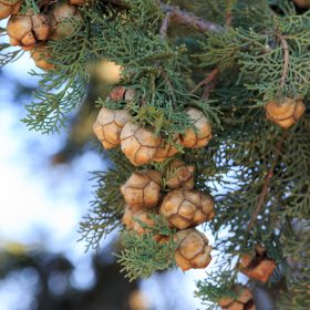 Cypress Essential Oil Artisan Aromatics