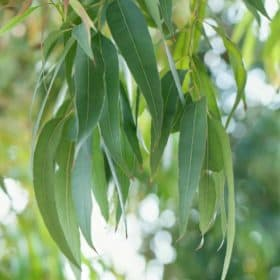 Eucalyptus tree leaves Eucalyptus Essential Oil