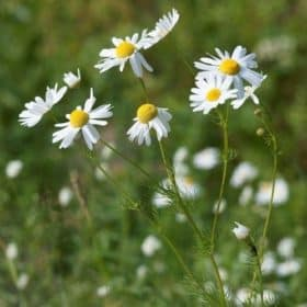 Blue Chamomile Essential Oil - Artisan Aromatics