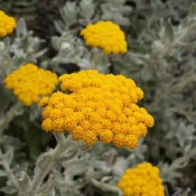 Helichrysum Essential Oil, France