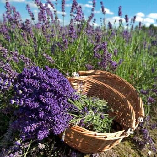 Lavender 40/42 Essential Oil, French - Artisan Aromatics
