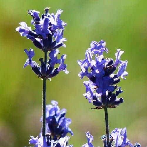 Lavender Provence Essential Oil