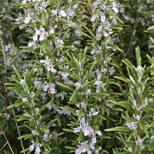 Rosemary Essential Oil (Tunisia)