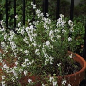 Thyme Linalol Essential Oil