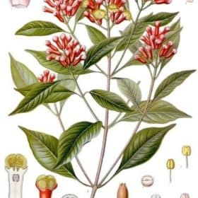 Clove Leaf Essential Oil | Clove Essential Oil