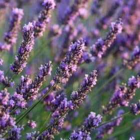 Lavender 40/42 Essential Oil Artisan Aromatics