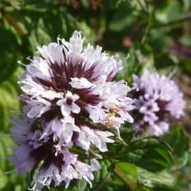 Bergamot Mint Essential Oil