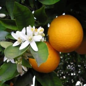 Orange Essential Oil - Sweet (Organic)