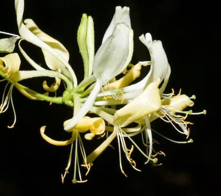 Honeysuckle Oil, organic