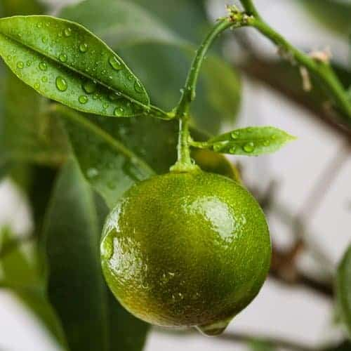 Green Mandarin Orange - Citrus reeticulata