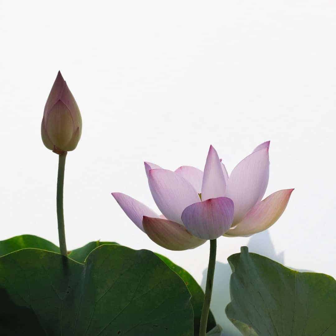 Divine Vibrations with Pink Lotus Absolute